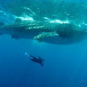 Requin baleines holbox