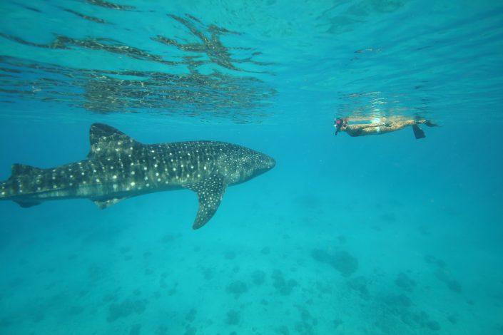 requin baleine snorkeling basse californie