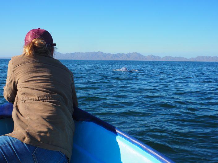 Baleines Grises observation