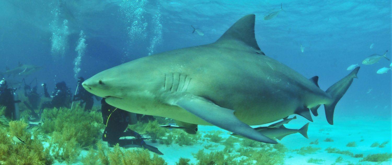 Animaux du Mexique - Saisonnalité des requins-bouledogues