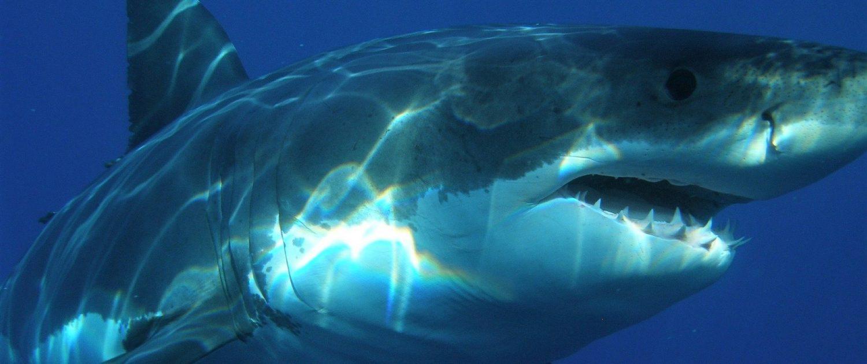 Animaux Mexique - saisonnalité du requin blanc