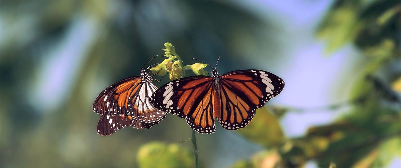 Animaux Mexique - saisonnalité du papillon monarque