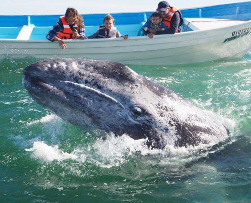 Animaux Mexique : la baleine
