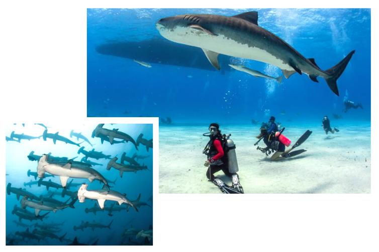 Plongée au Mexique avec les requins - Une expérience en Basse-Californie, La Paz.