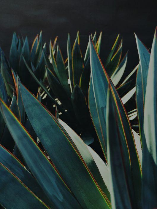 Mezcal : champ d'agaves